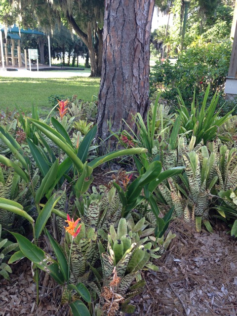 Around the pine trees at Pioneer Park, the landscape committee has installed bromeliads and dwarf heliconias. They are hardy, need little water or care and reward us with wonderful color and texture. All of these plants were donated to the HSOSC members garden by friends of the Bidwell-Wood House and the Crocker Memorial Church. We strive to keep the garden Florida-friendly.