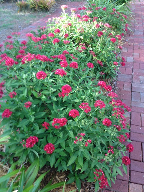 Bright red pentas line the brick path leading from parking area to the front porch of the Bidwell-Wood House in Pioneer Park, the home of the Historical Society. The landscape committee chose red flowers to reference the red front door of the Crocker Memorial Church. Pentas love full sun, can get by with minimal watering and are hardy.
