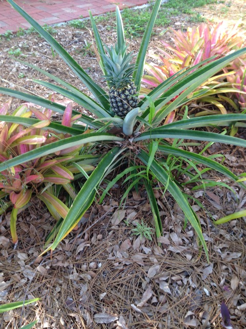 Pineapples in Sarasota, at the Historical Society of Sarasota County, 12th St & Tamiami Trail, in Pioneer Park