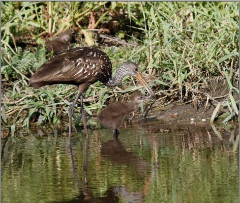 Mother and chick at the Celery Fields. I don't know what bird this is. Guess I'll be going to the January Conversation at the Crocker on Tuesday Jan. 12, 2016 at 7pm!