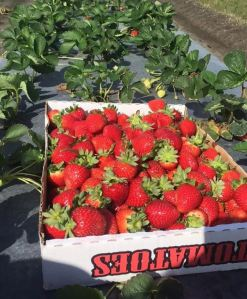 Strawberries in tomato box